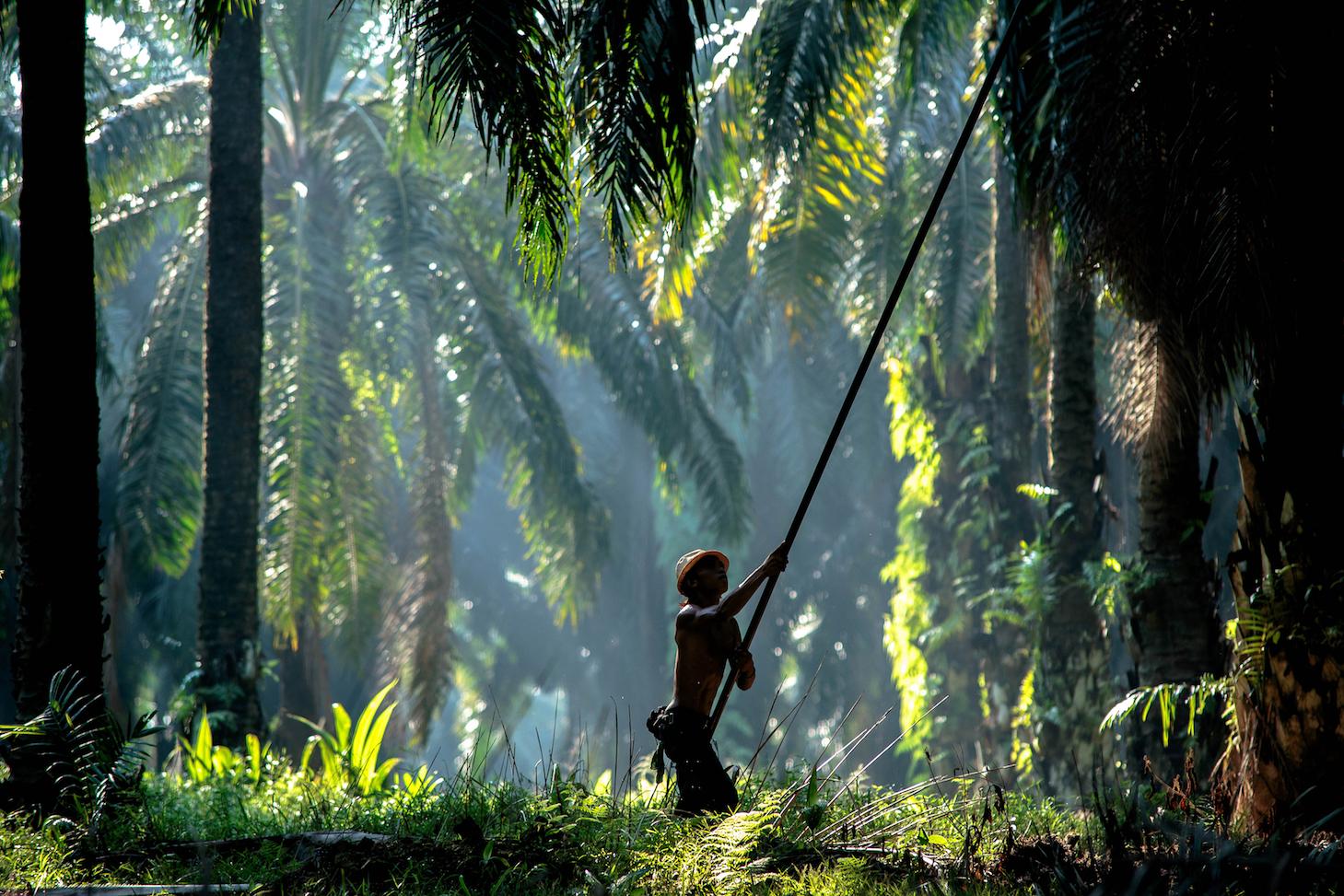 olio-di-palma-produttori-indonesiani