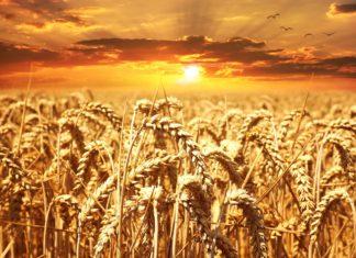 grano glifosato